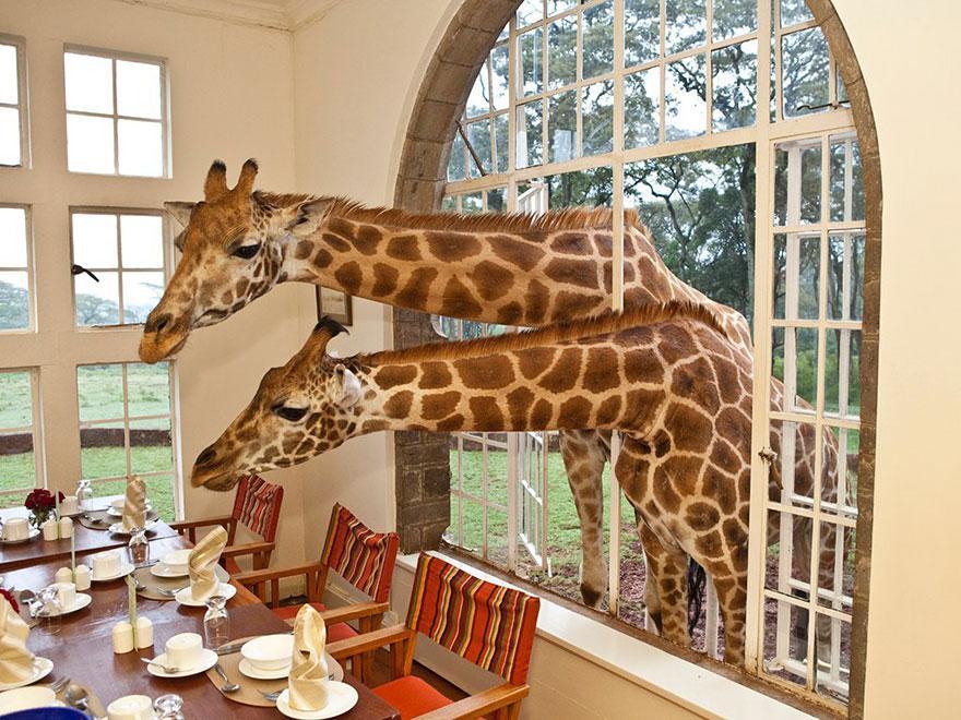 Giraffe Manor, Κένυα -2
