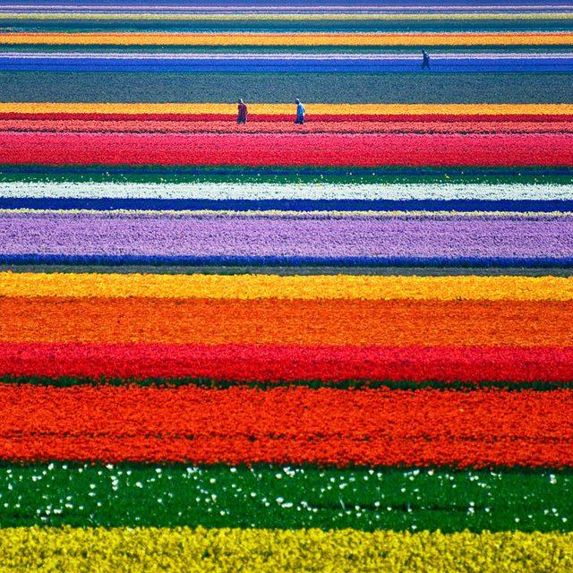 Tulip Fields in Netherlands