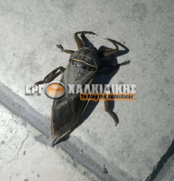 Χαλκιδική έντομο: Εμφανίστηκε δηλητηριώδες υδρόβιο έντομο