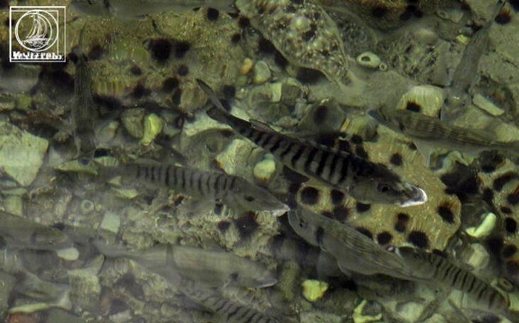 Αμφιλοχία: Τα ψάρια βγήκαν στη στεριά - Εντυπωσιακό θέαμα