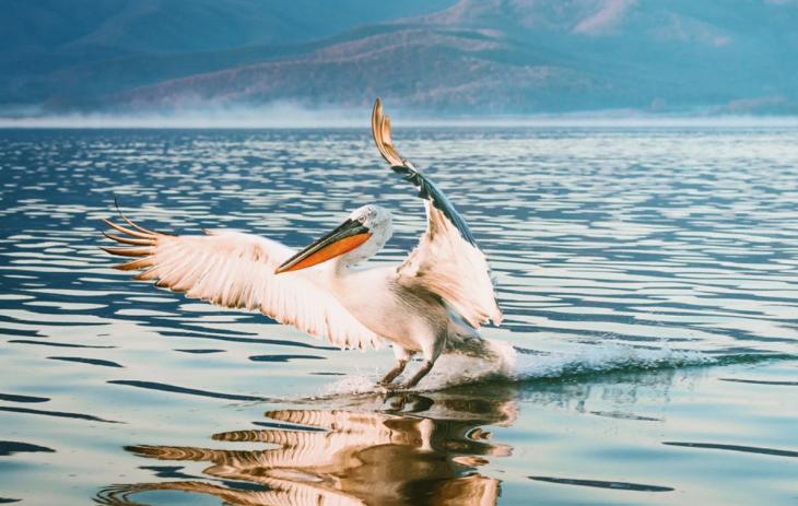 Λίμνη Κερκίνη: Έκαναν ήδη την εμφάνισή τους δεκάδες κύκνοι
