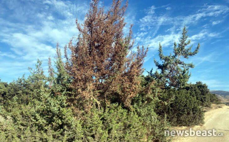 Καταστροφή στη Νάξο: Το κεδρόδασος προσβλήθηκε από σπάνιο μύκητα