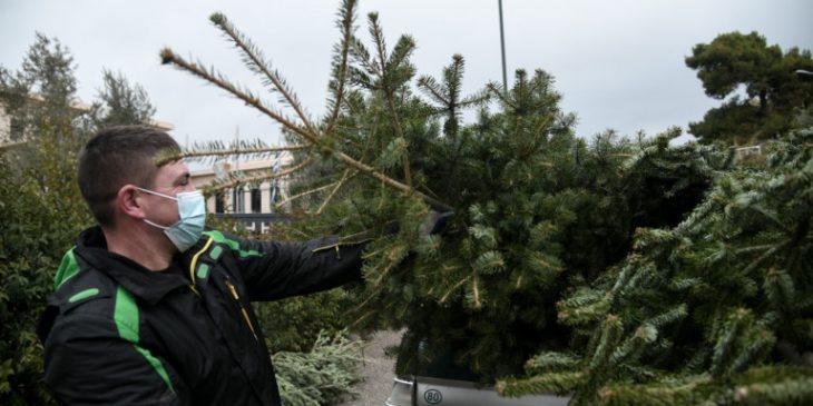 Χριστουγεννιάτικα έλατα: Ξεπέρασαν κάθε προσδοκία οι πωλήσεις τους