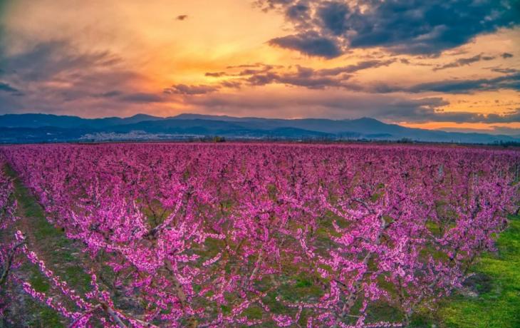 Ημαθία: Πανέμορφες φωτογραφίες από τις χιλιάδες ανθισμένες ροδακινιές που κάνουν ροζ το τοπίο
