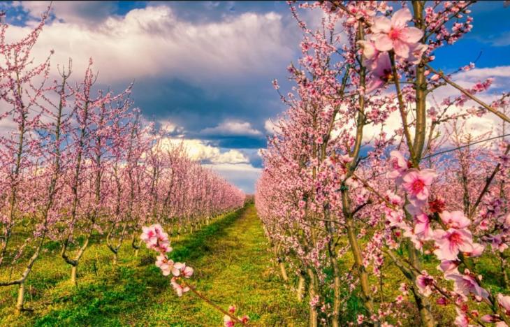 Ημαθία: Πανέμορφες εικόνες με το ροζ τοπίο με τις ανθισμένες ροδακινιές