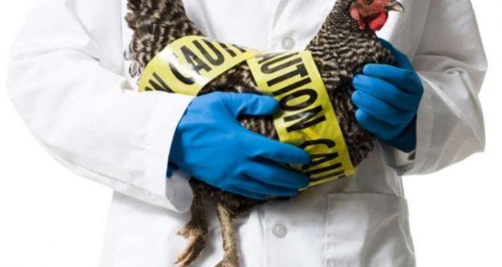 Καστοριά συναγερμός: Βρέθηκε ο ιός της γρίπης των πτηνών σε πελεκάνο