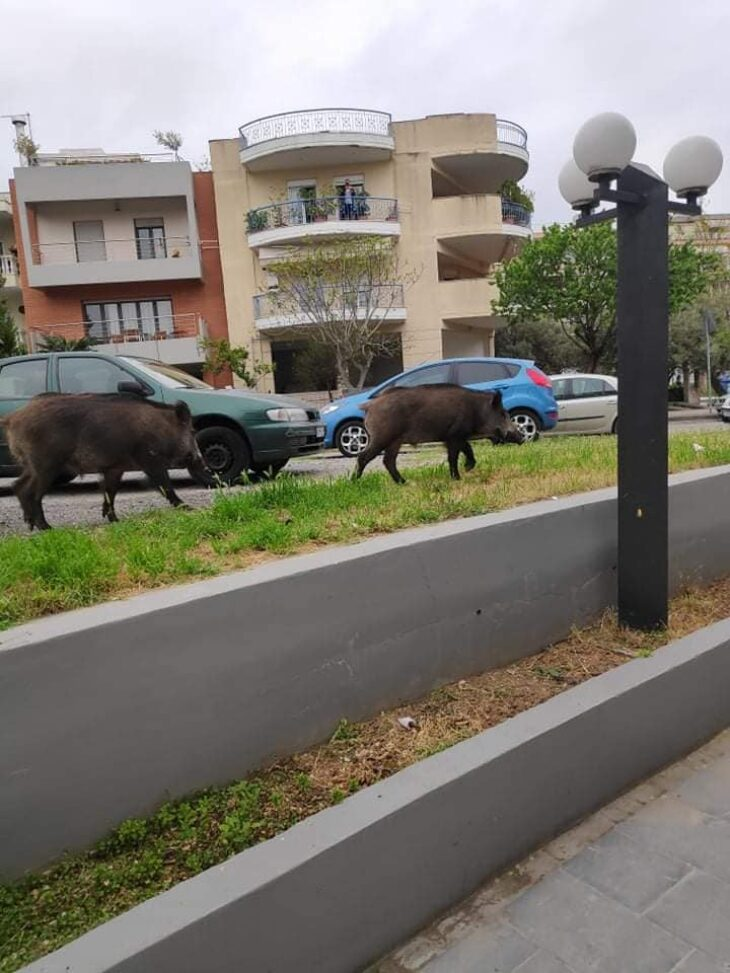 Σοκ στη Θεσσαλονίκη: Αγριογούρουνα βγήκαν στους δρόμους στο Πανόραμα και στο Χορτιάτη