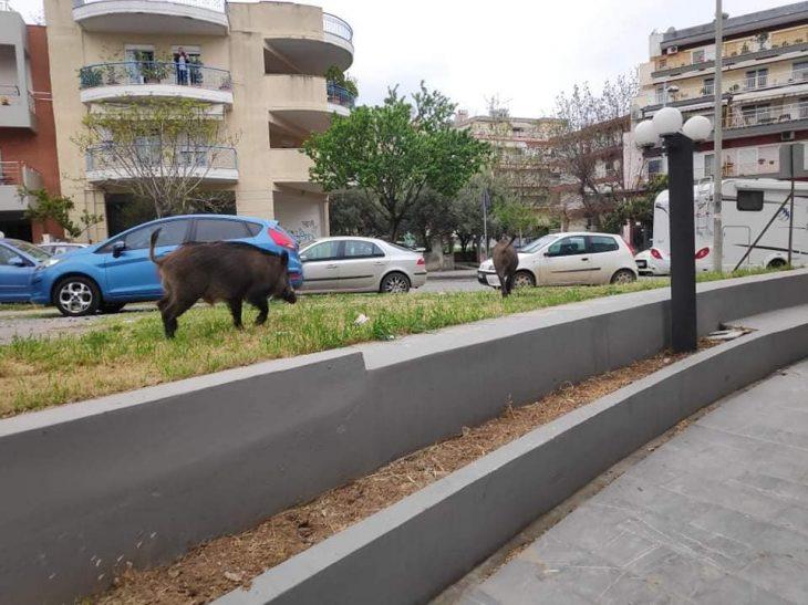 Σοκ στη Θεσσαλονίκη: Σοκ με αγριογούρουνα που βγήκαν στους δρόμους
