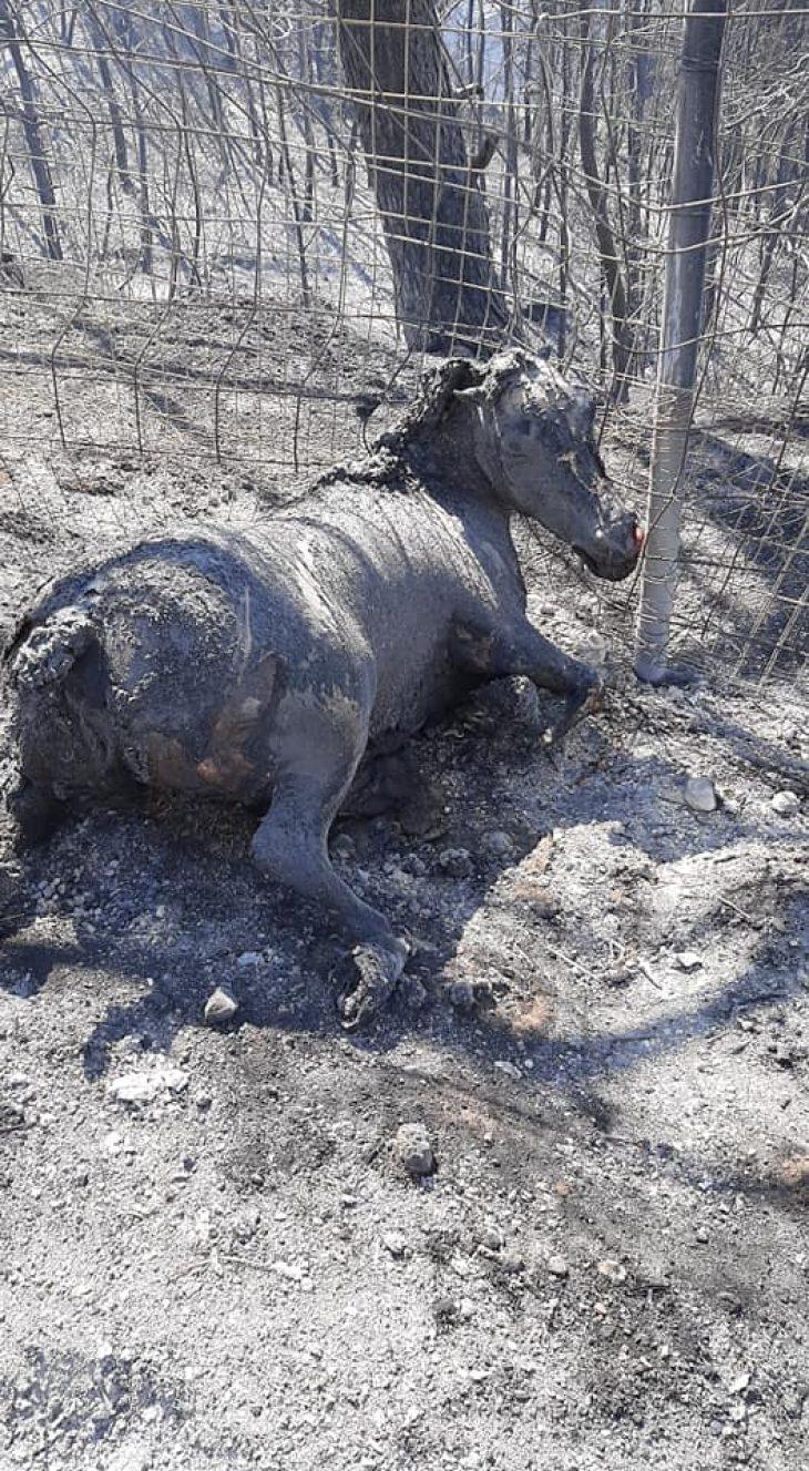 Φωτιά και ζώα: Και όμως είχαμε θύματα στη  τελευταία φωτιά