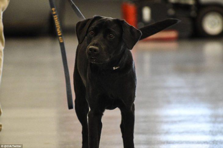 Σκύλος της CIA απολύθηκε γιατί προτιμούσε να παίζει αντί να ξετρυπώνει βόμβες