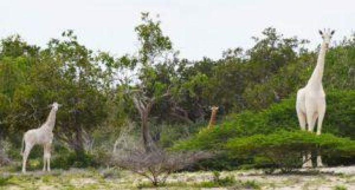 Λευκή καμηλοπάρδαλη: Σκότωσαν τη μοναδική οικογένεια