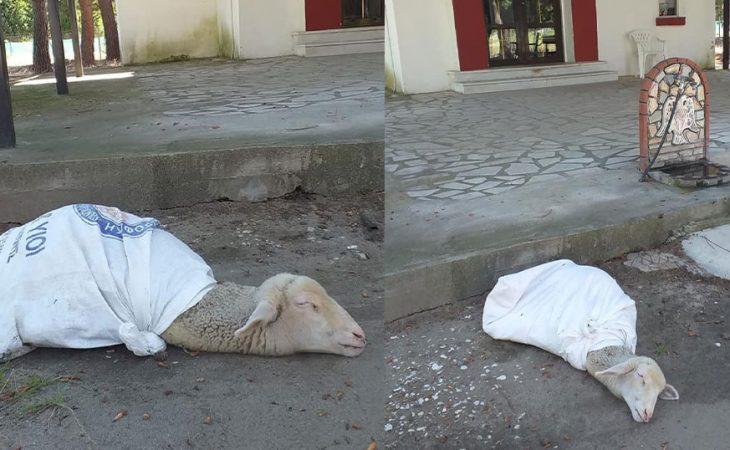 Καβάλα: Δεμένο ζωντανό προβατάκι για «τάμα» στην εκκλησία,