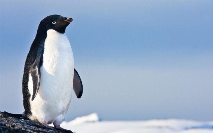 Πιγκουίνοι: Ζευγάρι πιγκουίνων πηγαίνει βόλτα χέρι χέρι