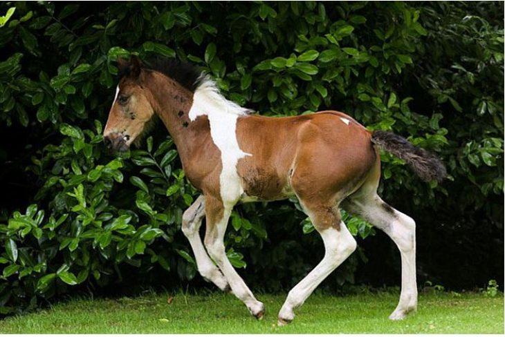 Άλογο γεννήθηκε με σχήμα αλόγου στην πλάτη του και είναι ό,τι πιο όμορφο έχετε δει